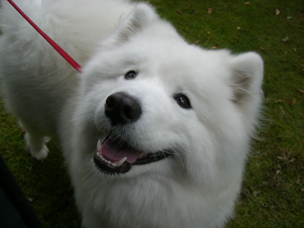 Samoyed Rescue - 0425